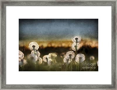 Dandelion Dusk Framed Print