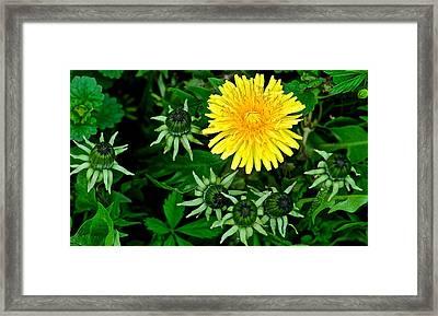 Dandelion Farm Framed Print by Frozen in Time Fine Art Photography