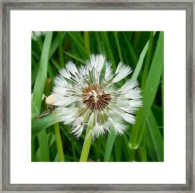 Dandelion Fluff Framed Print by Karen Molenaar Terrell