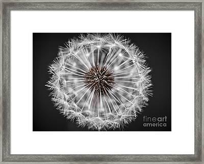 Dandelion Head Closeup Framed Print