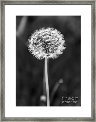 Dandelion In The Sun Framed Print