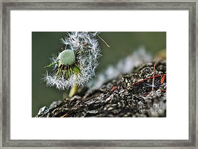 Dandelion In The Wind Framed Print by Kaye Menner