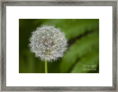 Dandelion Framed Print by JRP Photography