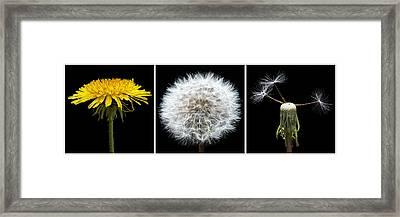 Dandelion Life Cycle Framed Print by Steve Gadomski