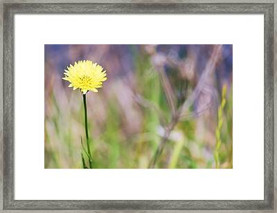 Dandelion Framed Print by Lorri Crossno