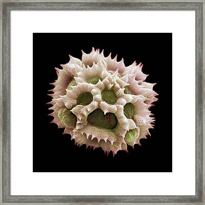 Dandelion Pollen Grain Framed Print by Natural History Museum, London