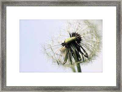 Dandelion Puff Framed Print by Tracy Male