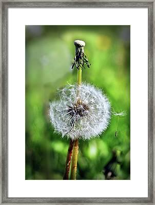 Dandelion Released Framed Print