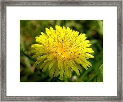 Dandelion Framed Print by Ron Harpham