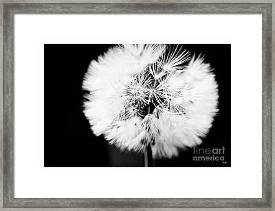 Dandelion Framed Print by Scott Pellegrin