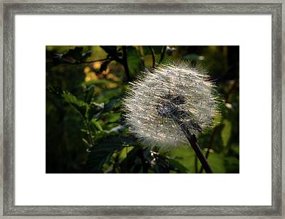 Dandelion Seeds Ready To Be Dispersed Framed Print