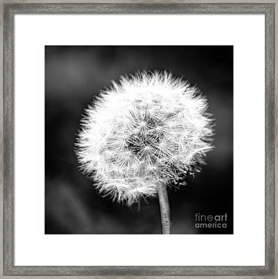 Dandelion Square Portrait In Black And White Framed Print by Emily Kay