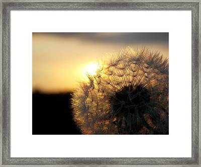 Dandelion Sunset Framed Print