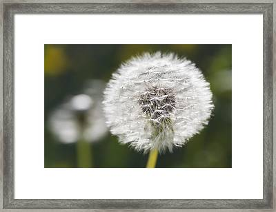 Dandelion _taraxacum Officinale__ Black Framed Print by Carl Bruemmer