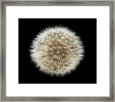 Dandelion (taraxacum Officinale) Seedhead Framed Print