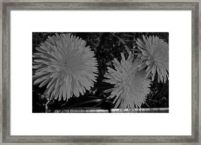 Dandelion Weeds? B/w Framed Print by Martin Howard