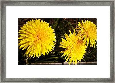 Dandelion Weeds? Framed Print by Martin Howard