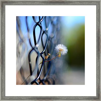 Dandelion Wish Framed Print by Laura Fasulo