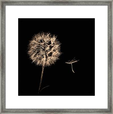 Dandelion With Seed Framed Print