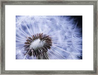 Dandelion With Seeds Framed Print by Elena Elisseeva