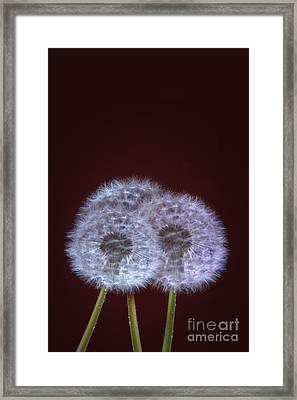 Dandelions Framed Print by Donald Davis