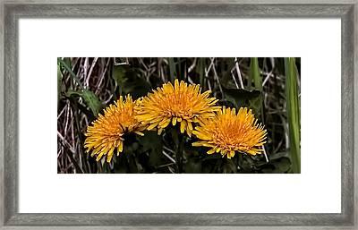 Dandelions In Group  By Leif Sohlman Framed Print