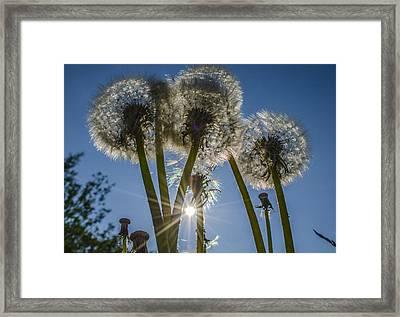 Dandelions In The Sun Framed Print by Adam Budziarek
