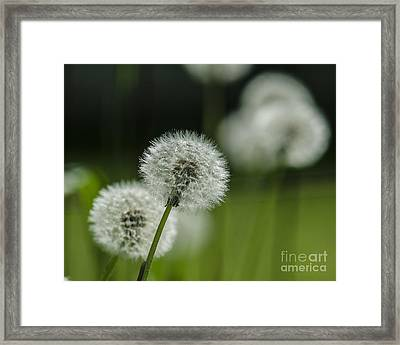 Dandelions  Framed Print by JRP Photography