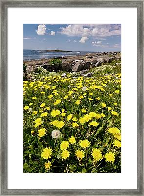 Dandelions (taraxacum Officinale) Framed Print