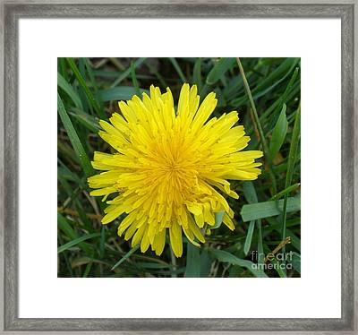 Dandy Framed Print by Polly Anna