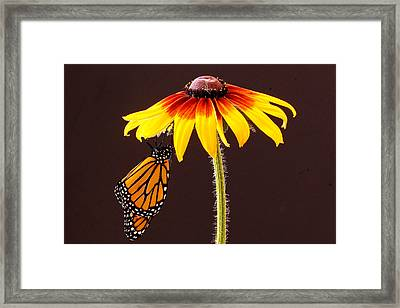 Dangling Monarch Framed Print by Jean Noren
