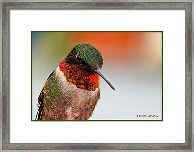 Da162 Hummingbird Thinking By Daniel Adams Framed Print