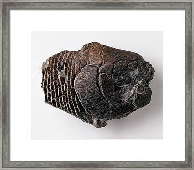 Dapedium Skull Framed Print