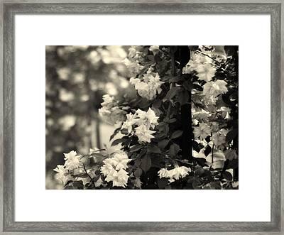Dappled Rose Framed Print by Jessica Jenney