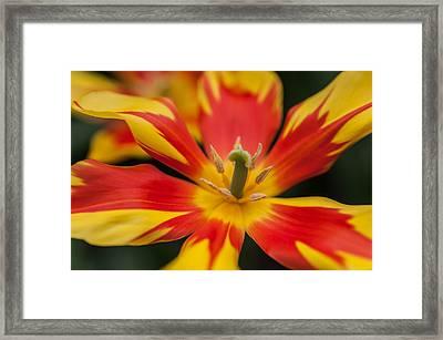Dappled Tulip 1. The Tulips Of Holland Framed Print by Jenny Rainbow