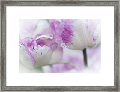 Dappled Tulips. The Tulips Of Holland Framed Print by Jenny Rainbow