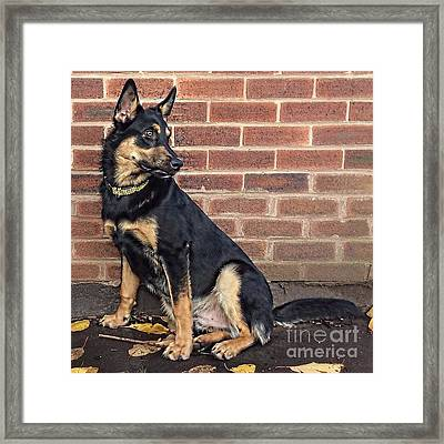 darcy. 8 Months Old Today #gsd Framed Print