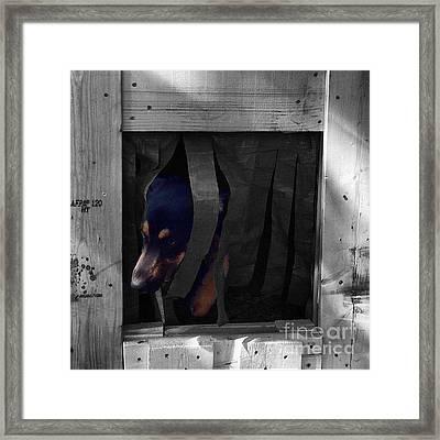 Darcy  #dog #dogs #darcy #gsd Framed Print