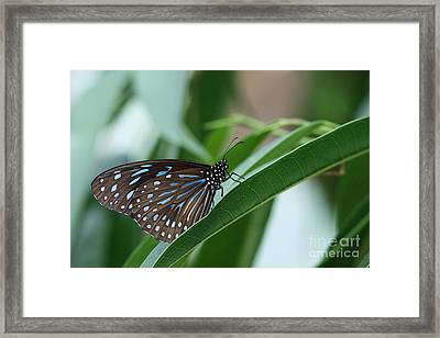 Dark Blue Tiger Butterfly #2 Framed Print by Judy Whitton