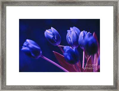 Dark Blue Tulips Framed Print