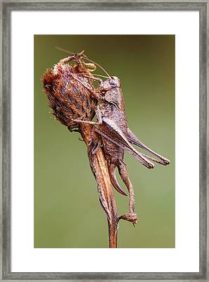 Dark Bush Cricket Framed Print