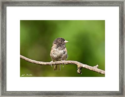 Dark Eyed Junco Framed Print