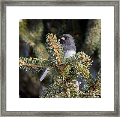 Dark-eyed Junco  Framed Print by Ricky L Jones