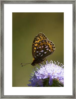 Dark Green Fritillary Framed Print