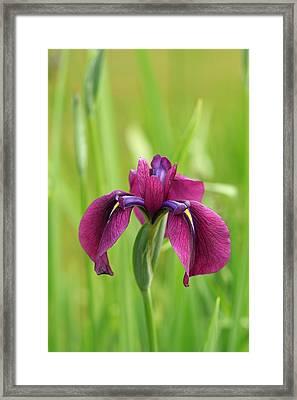 Dark Magenta Iris Framed Print
