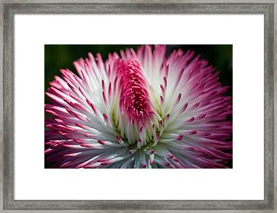 Dark Pink And White Spiky Petals Framed Print