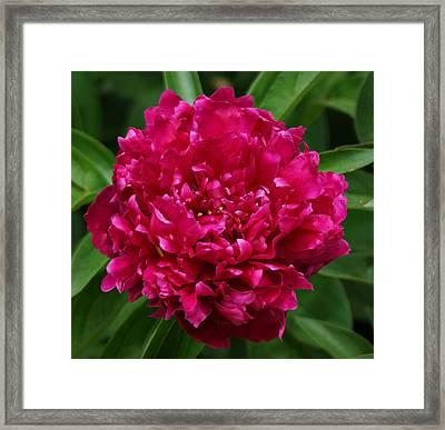 Dark Pink Peony II Framed Print by Sandy Keeton