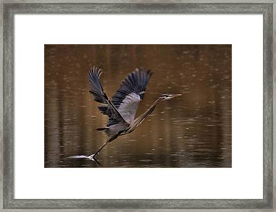 Dark Rainy Morning Heron Launch - C1114i Framed Print by Paul Lyndon Phillips