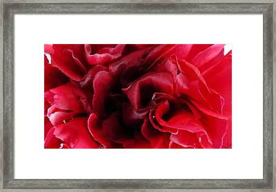 Dark Red Peony Framed Print by Sascha Kolek