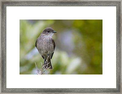 Darkfaced Ground Tyrant Framed Print by Tim Grams